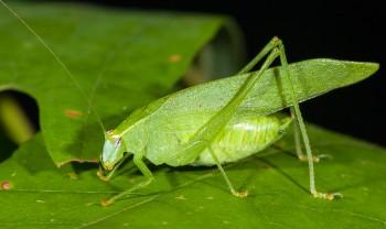 insect_musicians_20140913_Montezumina_modesta_WH__MG_3137