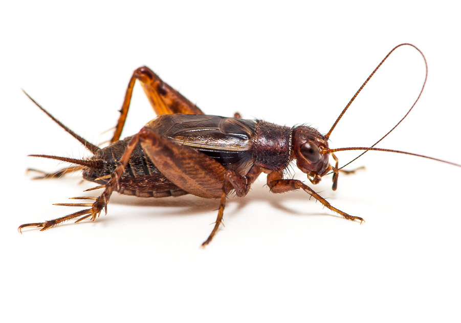 Tinkling Ground Cricket | Songs of Insects