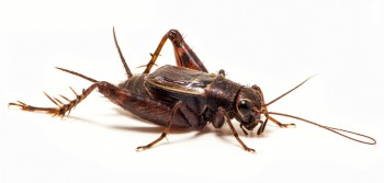 Spotted ground cricket songs of insects