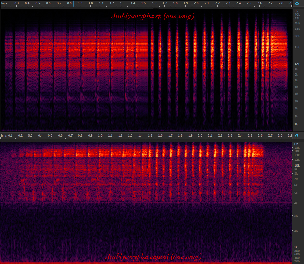 Spectrogram comparison with A. cajuni