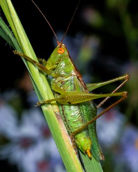 Common Meadow Katydid