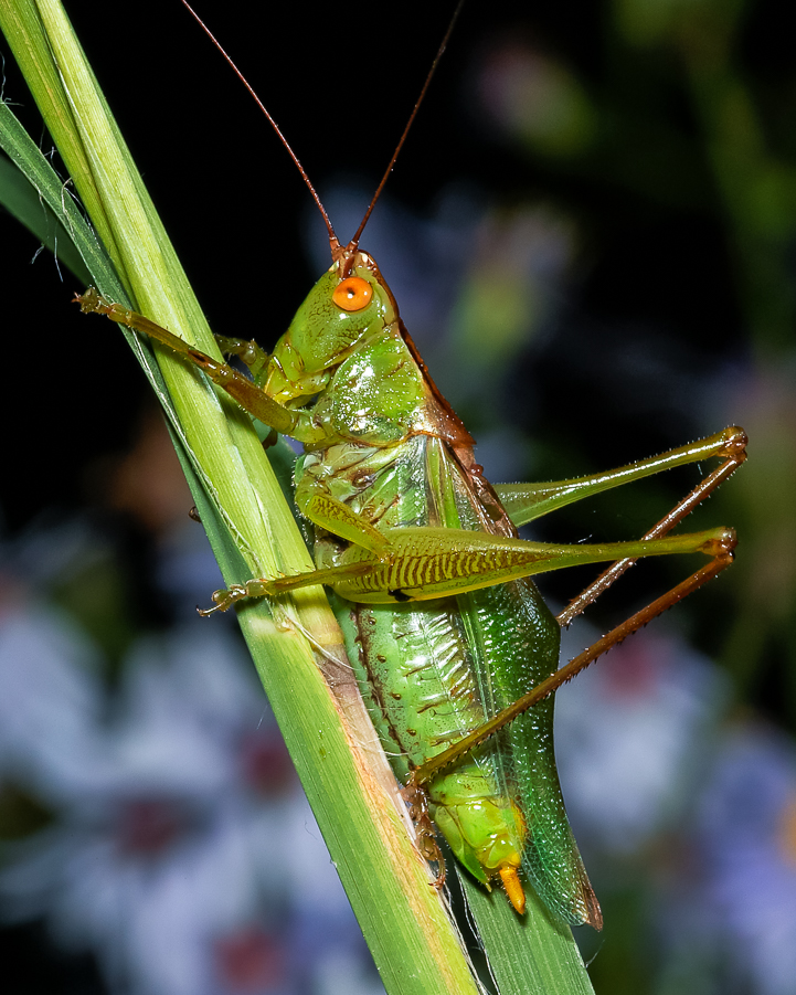 462c4736 Common Meadow Katydid | Songs of Insects