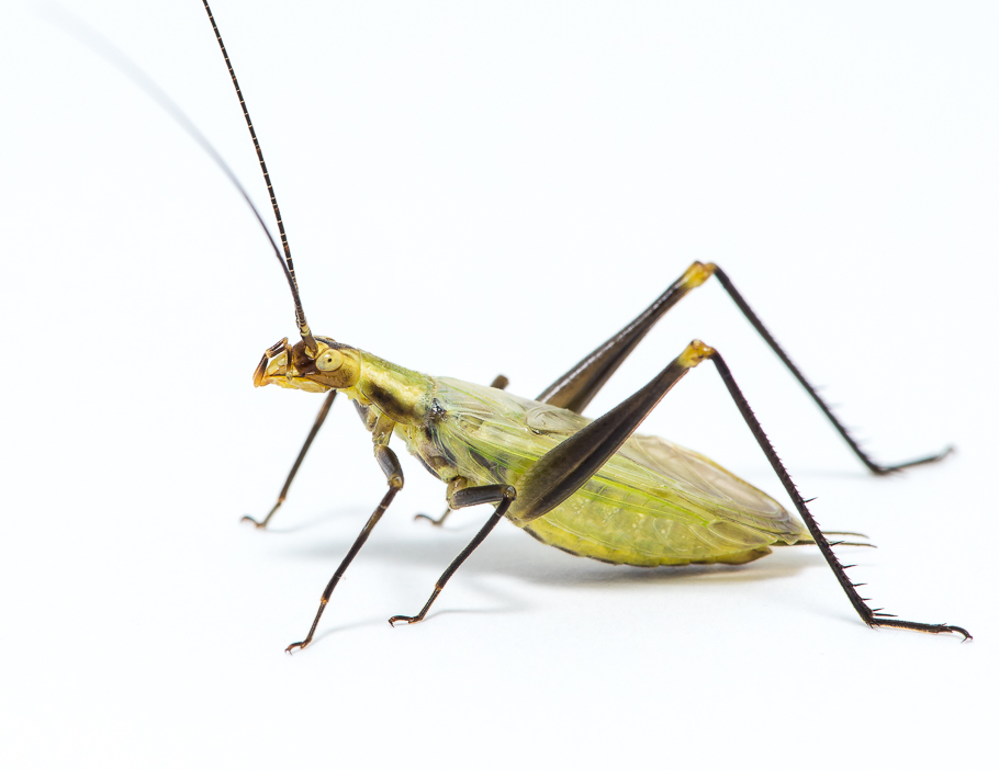 Forbe's Tree Cricket