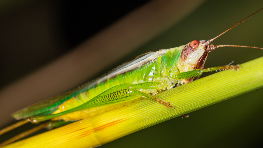 719f65db Stripe-faced Meadow Katydid | Songs of Insects