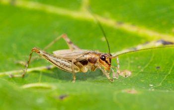 Anaxipha tinnulacita