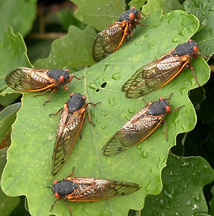 photo of six cicadas on a leaf
