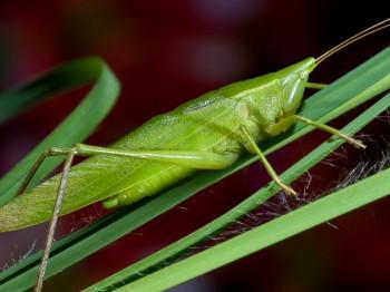 insect_musicians_Neoconocephalus_bivocatus_WH__WIL0134