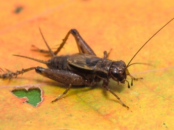 Striped Ground Cricket