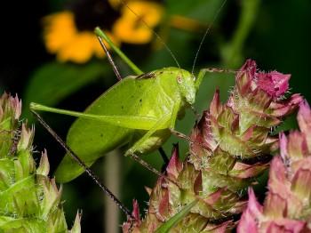 insect_musicians_ambly-longi_WHa_DIGI_ab