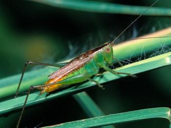 insect_musicians_cono-brevi_WH_SLIDE_a