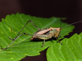 insect_musicians_cono-nem_WH_DIGI