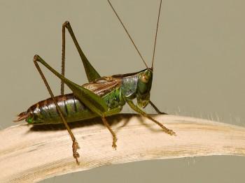 insect_musicians_cono-stric_WH_DIGI