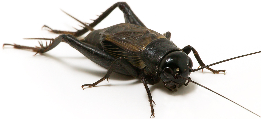 Black Cricket Insect Png