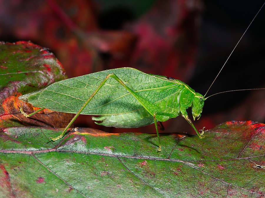 False Katydids | Songs of InsectsSongs of Insects