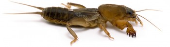 Northern Mole Cricket