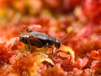 Sphagnum Ground Cricket