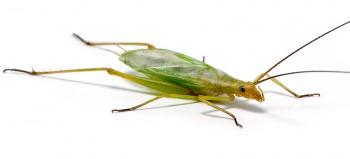 Fast-calling Tree Cricket