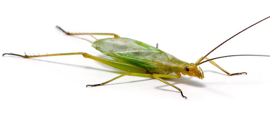 Fast-calling Tree Cricket | Songs of Insects