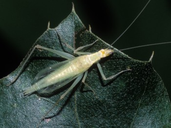 Davis's Tree Cricket