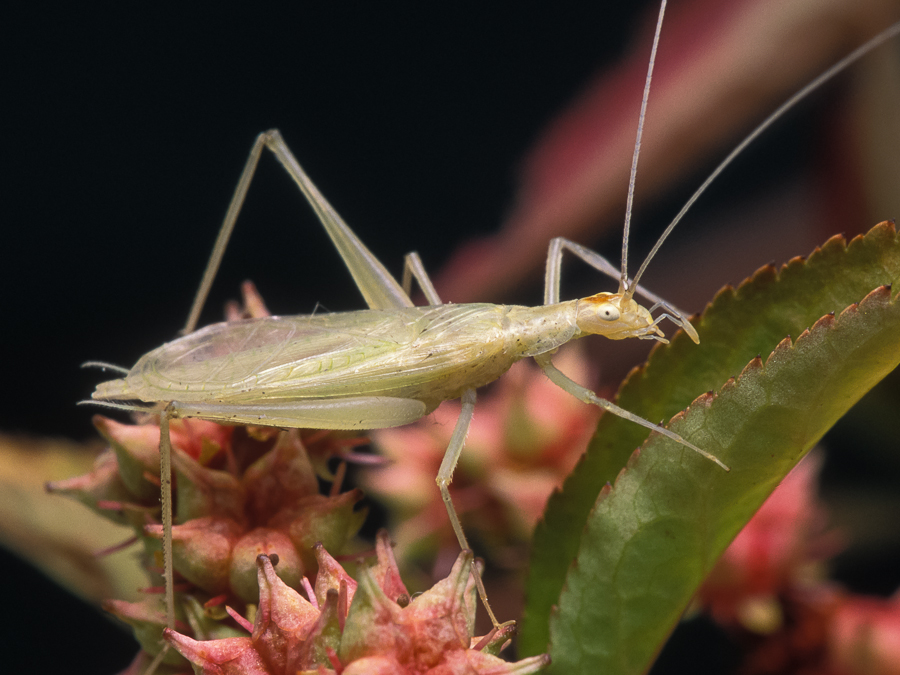 Green tree cricket narrow winged tree cricket songs of insects