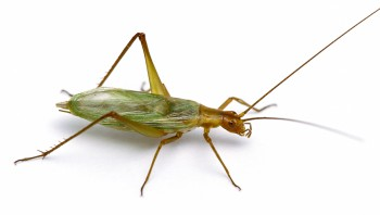 Pine Tree Cricket