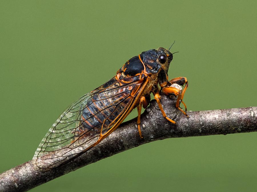 cicada - photo #46