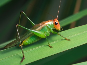 insect_musicians_orchel-eryth_LE_SLIDE