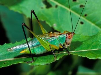 insect_musicians_orchel-nigri_LEc_SLIDE_ab