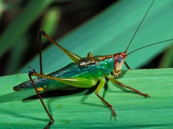Green cricket scientific name