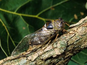 insect_musicians_tibic-aule_LE_SLIDE