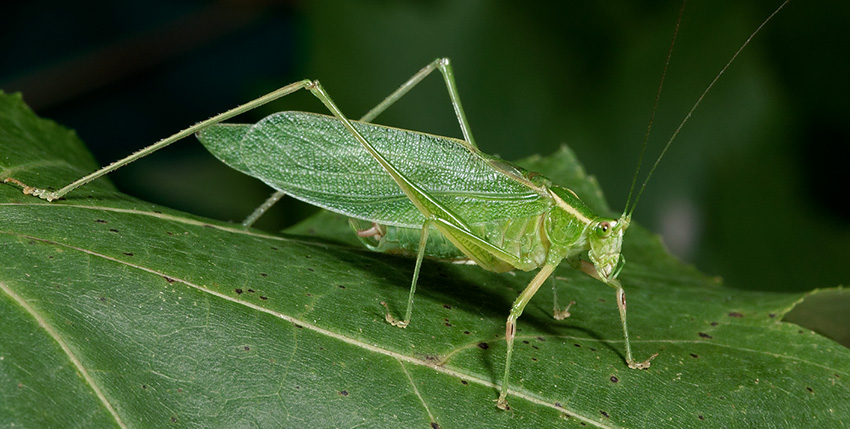 photo of a Northern Bush Katydid