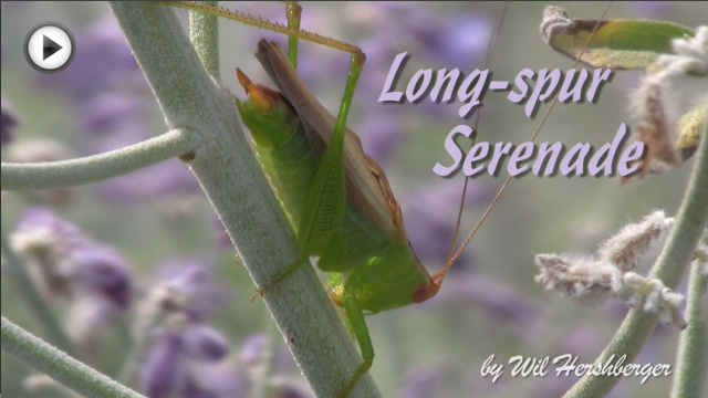 Long-spur Serenade