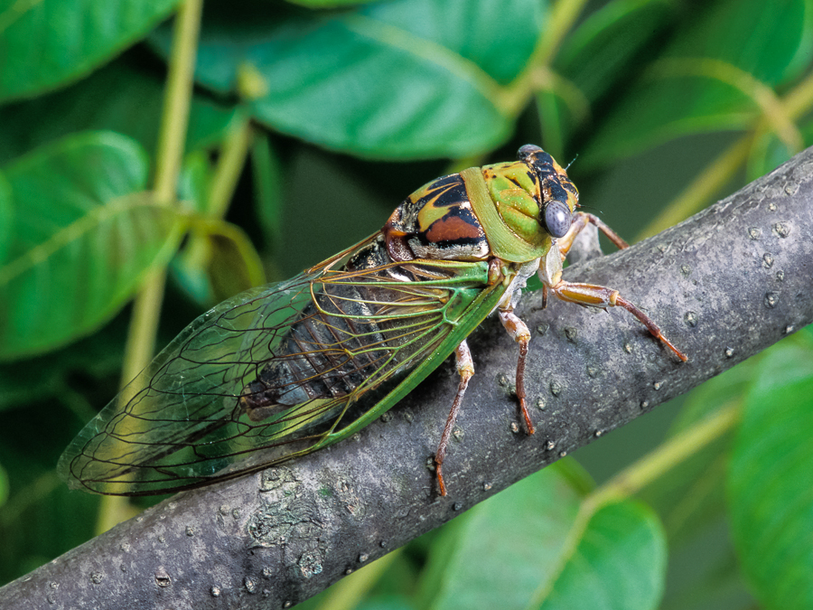 Walker's Cicada | Songs of Insects